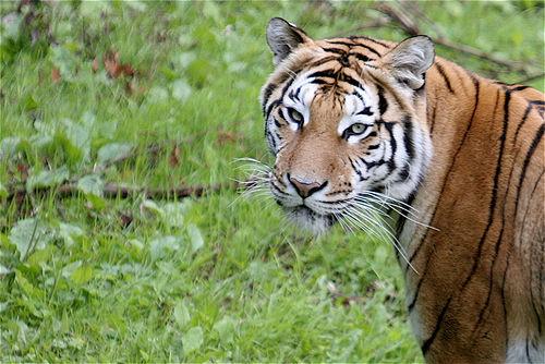Tristant Nitot - Tigre